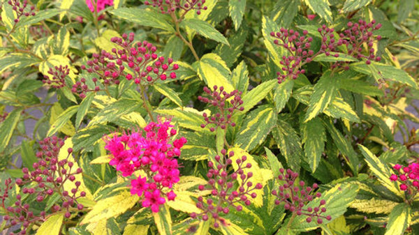 Spirea Double Play 'Painted Lady'