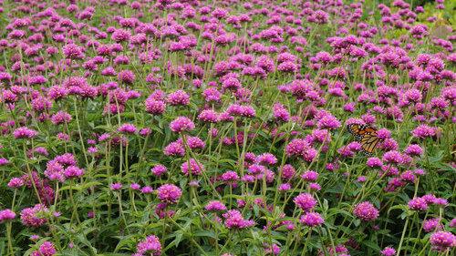Gomprena Truffula 'Pink'
