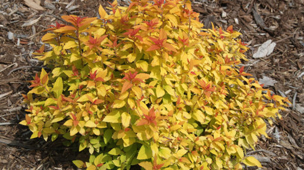 Spirea Double Play 'Candy Corn'