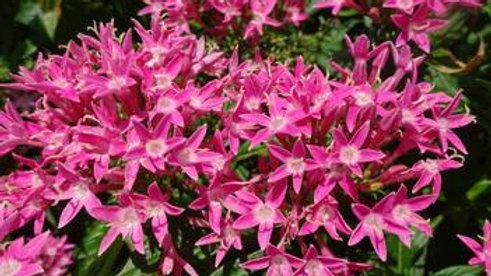 Pentas Bee Bright 'Pink'