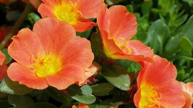 Portulaca Pazzaz 'Tangerine'