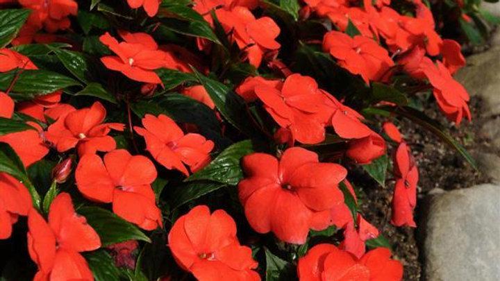 New Guinea Impatiens 'Divine' 'Orange Bronze'