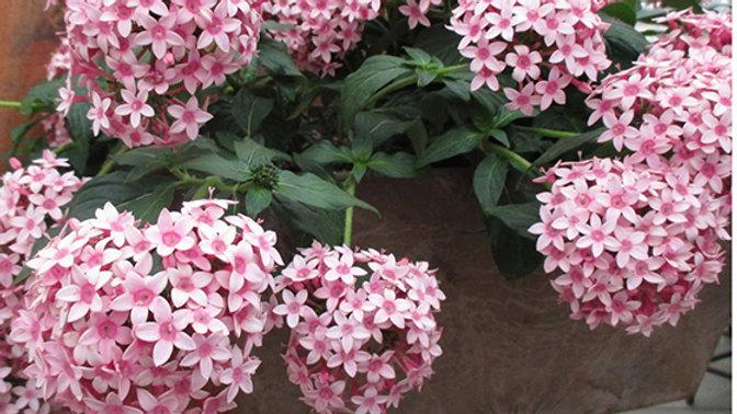 Pentas Falling Star 'Pink Bi-Color'