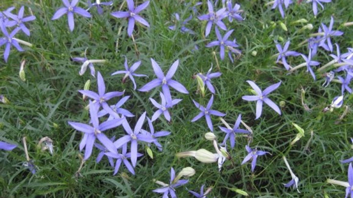 Isotoma 'Beth's Blue'