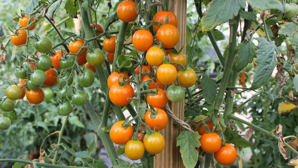 Tomato Sun Sugar