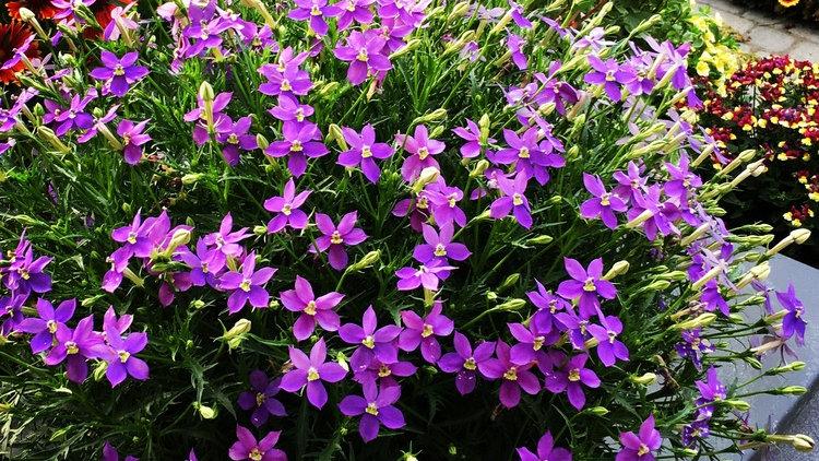 Isotoma 'Fizz N Pop Violet'