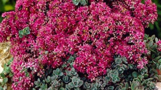 Sedum Sunspackler 'Dazzleberry'