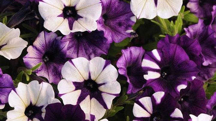 Petunia Shockwave 'Purple Tie Dye'