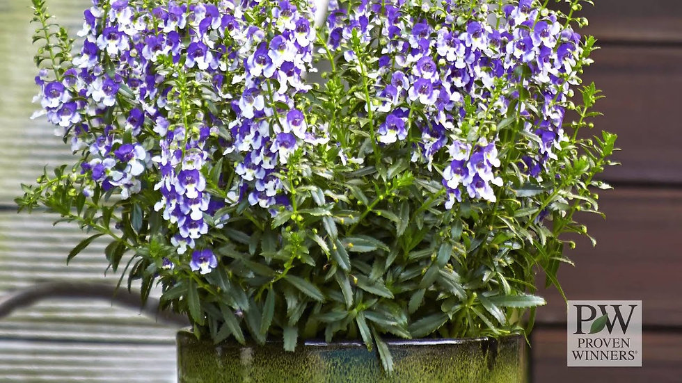 Angelonia Wedgewood 'Blue Improved'