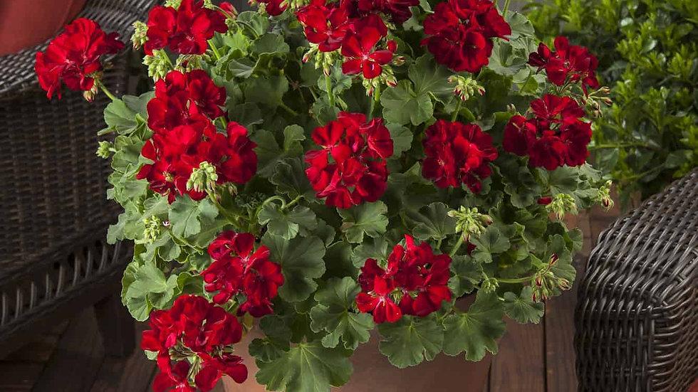 Geranium Calliope 'Red'