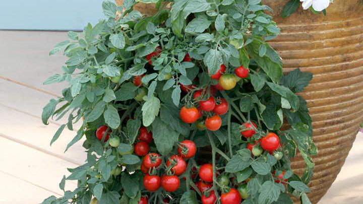 Tomato 'Tumbler Tom'