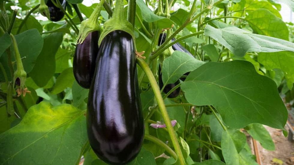 Eggplant 'Classic'