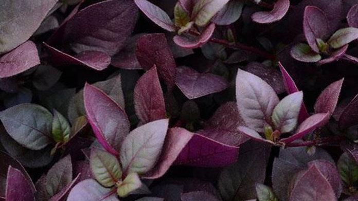 Alternathera 'Purple Prince'