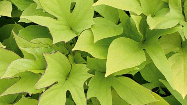 Ipomea Sweet Caroline  'Light Green'