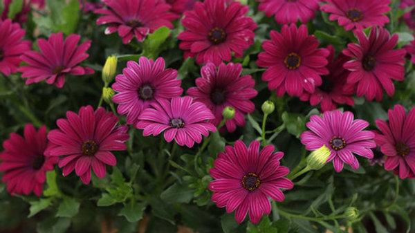 Osteospermum Bright Lights 'Purple'