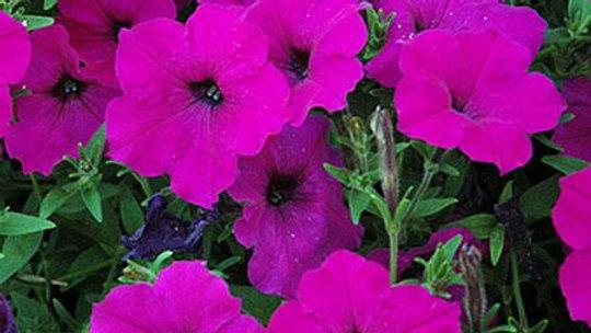 Petunia Easy Wave 'Violet'