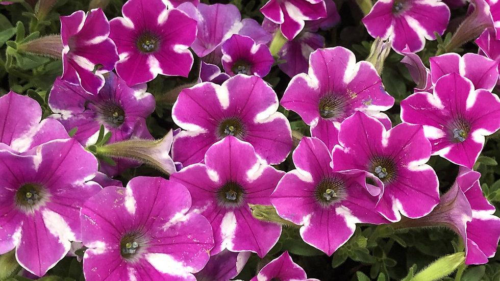 Petunia Supertunia 'RasberryRush'