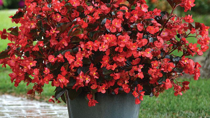 "Begonia Megawatt 'Bronze Rose"""