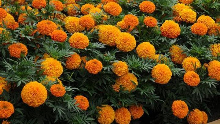 Marigold Taishan 'Orange'