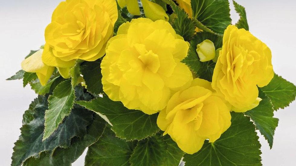 Begonia Tuberous Nonstop 'Yellow'