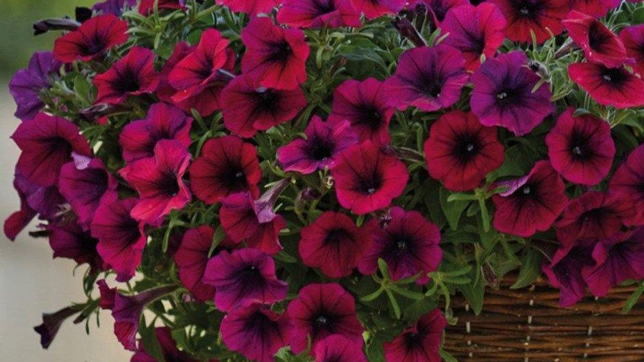 Petunia Shockwave 'Deep Purple'