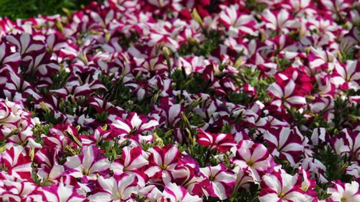 Petunia Easy Wave 'Burgundy Star'