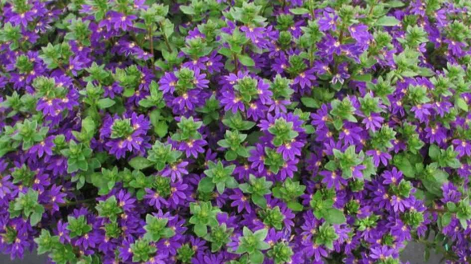 Scaevola Surdiva 'Blue Violet'