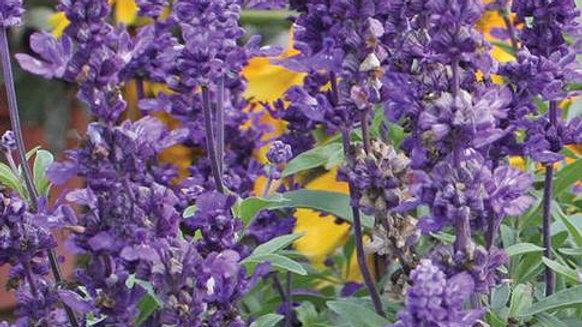 Salvia Evolution Violet