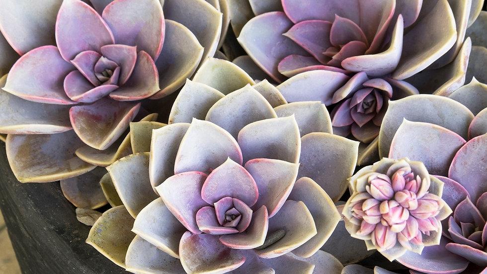 Echeveria 'Pearl von Nurm'