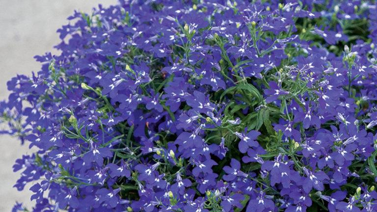 Lobelia Hot Blue
