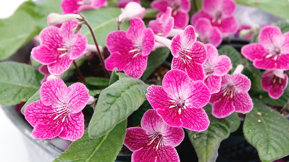 Streptocarpus Ladyslippers 'Strawberry Ice'