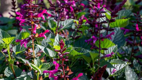 Salvia Rock'in 'Fuchsia'
