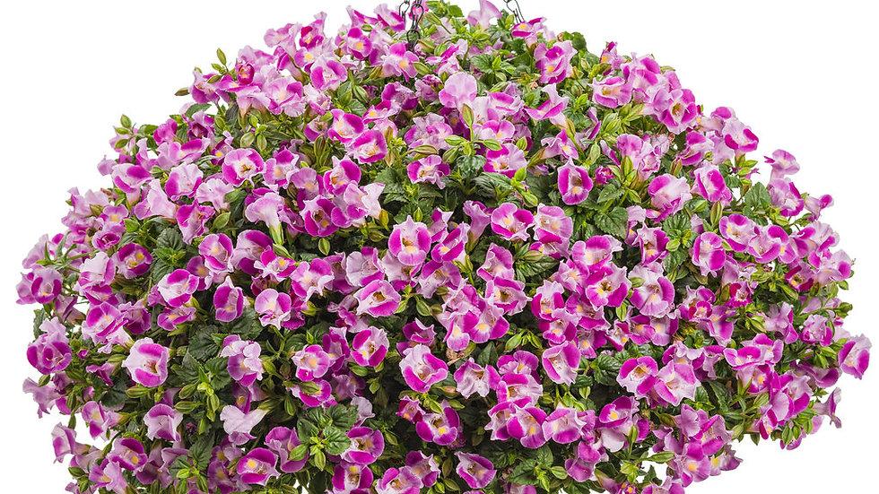 Torenia Catalina 'Pink'