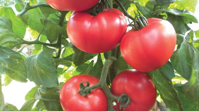 Tomato 'Beefsteak'