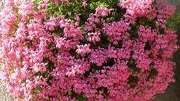 Geranium Ivy Mini 'Cascade 'Lavender'