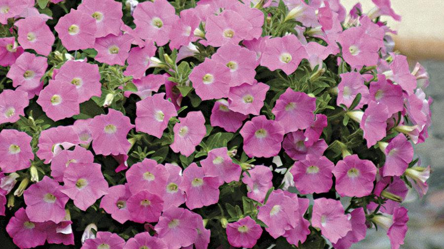 Petunia Shockwave 'Pink Shades '