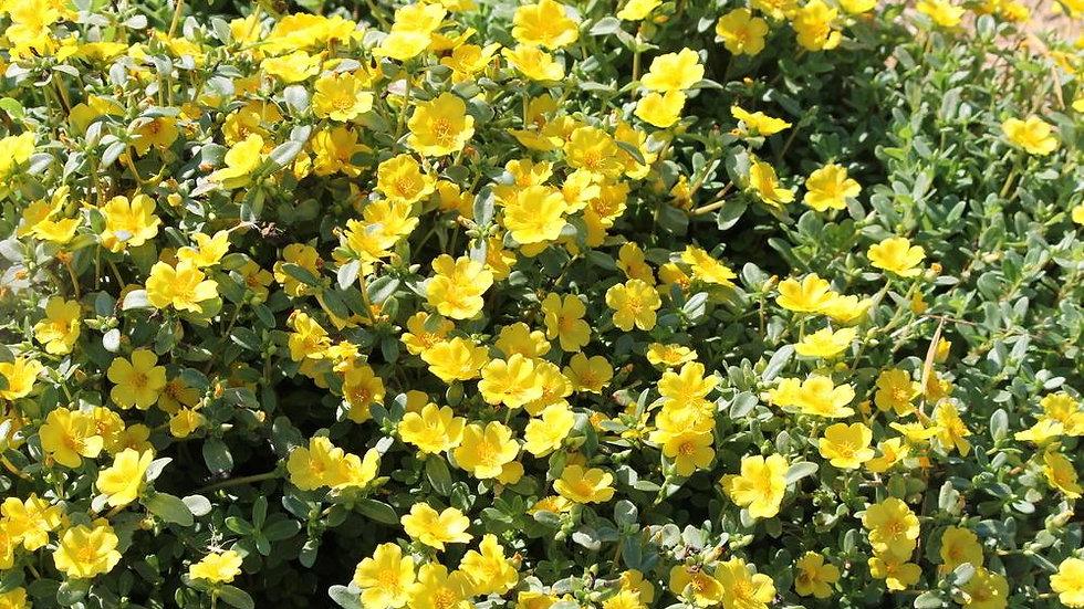 Portulaca Pazzaz 'Yellow'