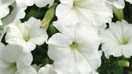 Petunia Easy Wave 'White'