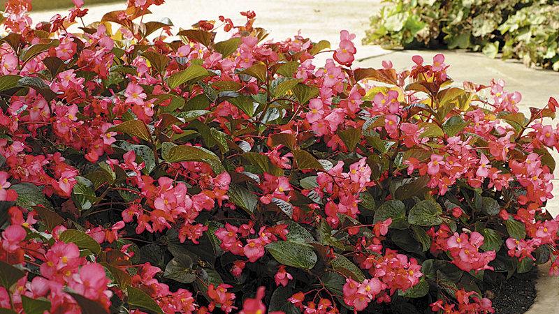 Begonia Whopper Broze Leaf Rose