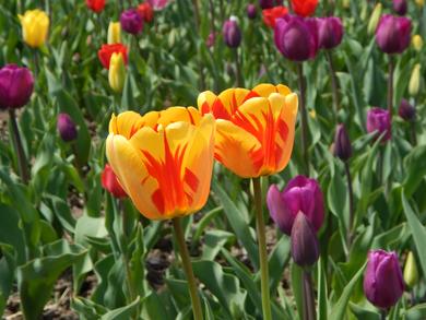 Edie Tulip 5.png