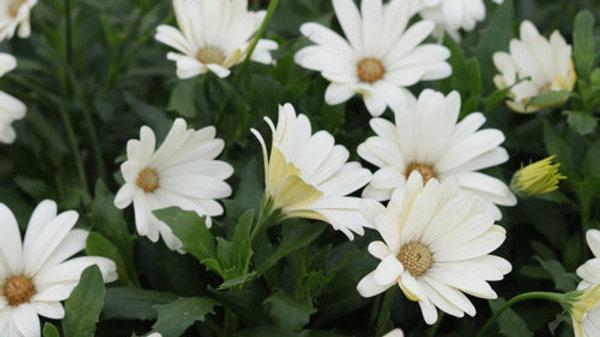 Ostespermum Bright Lights 'White'