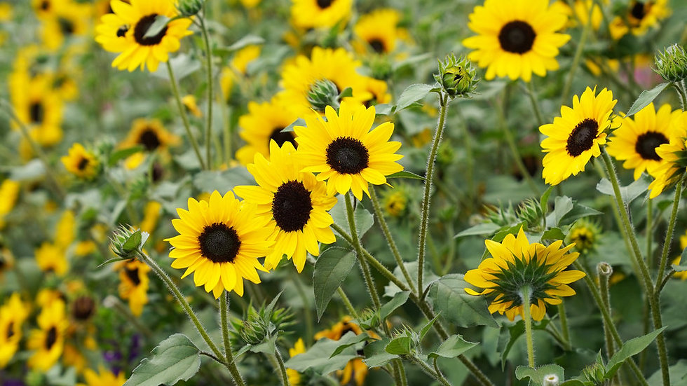 Sunflower 'Suncredible Yellow""