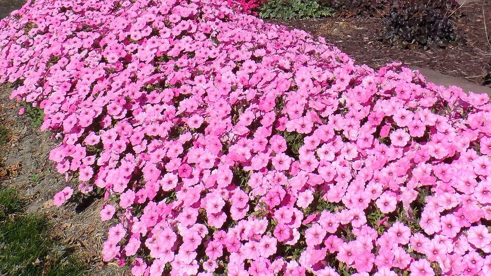 Petunia Supertunia Vista 'Bubblegum'