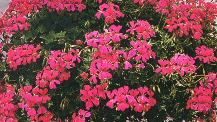 Geranium Ivy 'Mini Cascade Pink'
