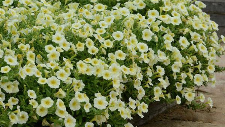 Petunia Easy Wave 'Yellow'