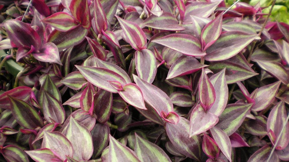 Tradescantia Zebrina red/silver