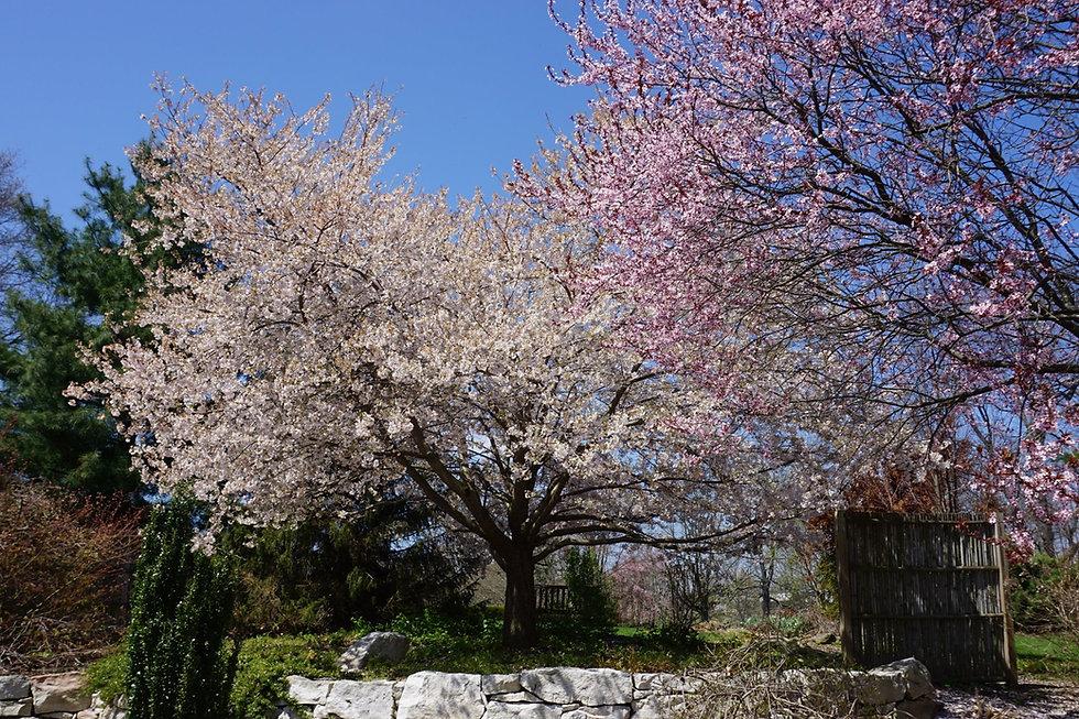 Japanese Cherry.jpg