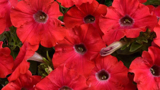 Petunia 'Ray' Red