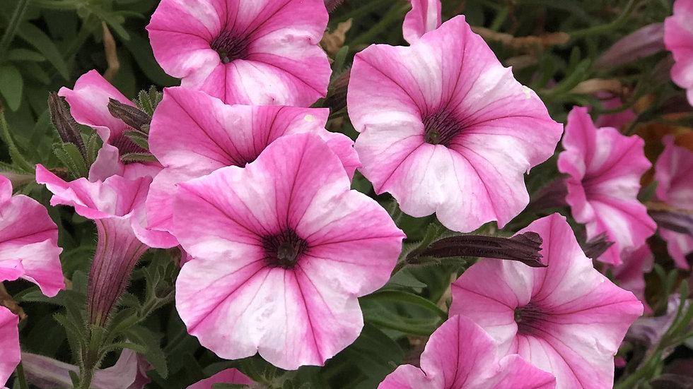 Petunia Supertunia Mini Vista 'Pink Star'