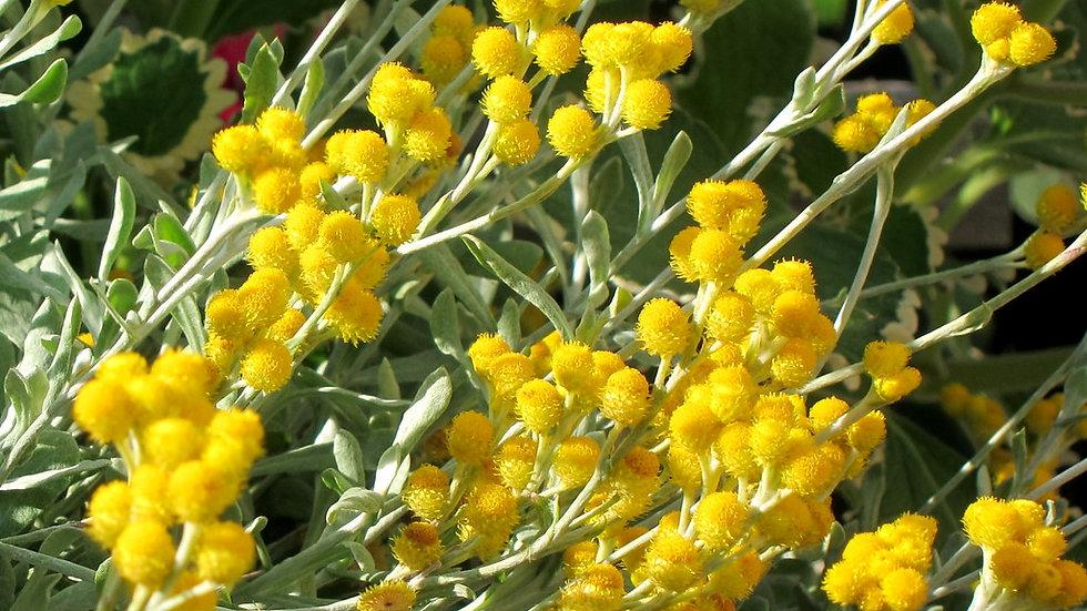 Chrysocephaium  'Flame Yellow'